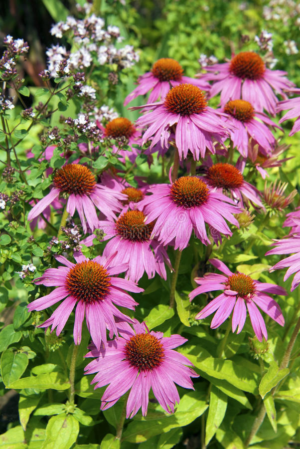 Purpurea d'Echinacea images libres de droits