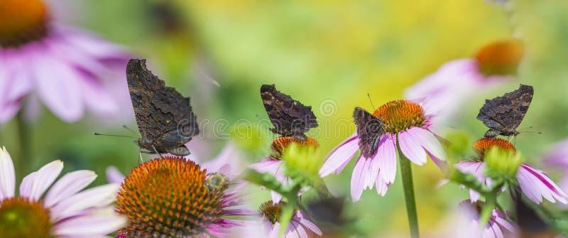 Purpurea d'Echinacea - coneflower dans le jardin avec des papillons image stock