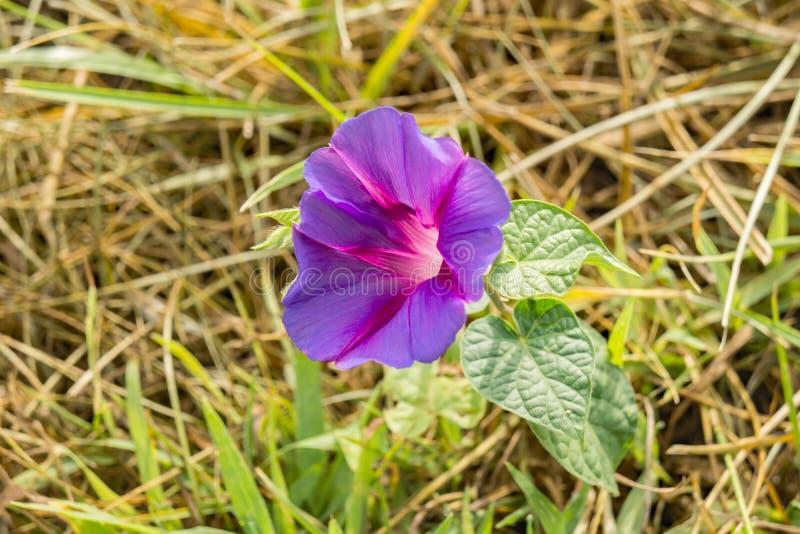 Purpurea d'Ipomoea d'†de gloire de matin commun « photo libre de droits