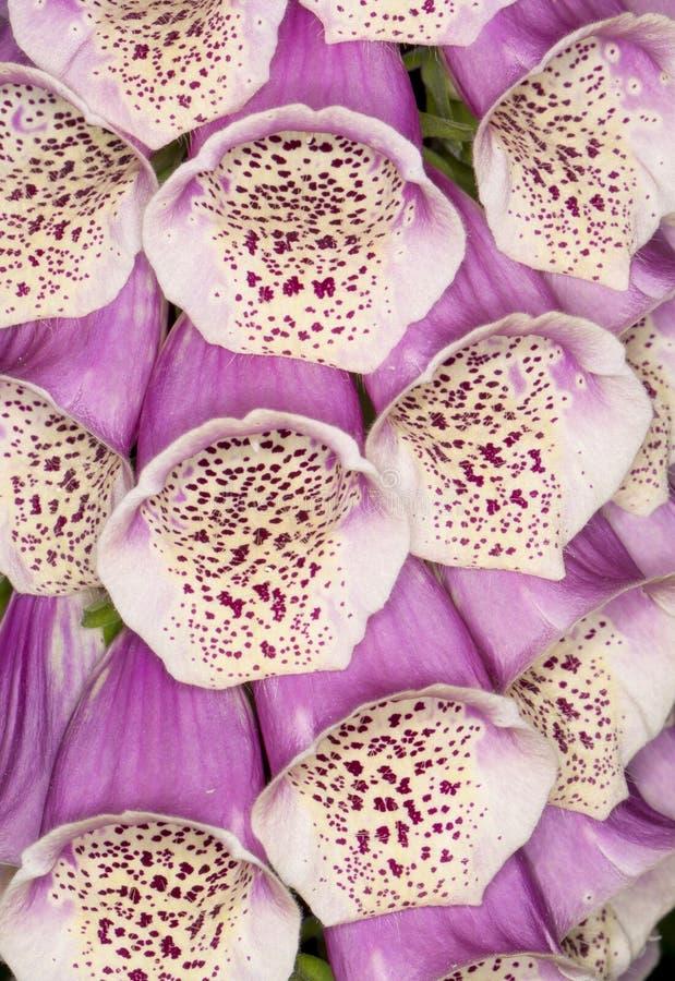 Purpurea de Diditalis da digital fotografia de stock