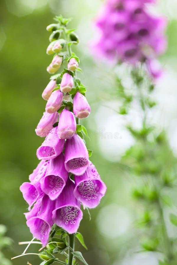 Purpurea de la digital de los wildflowers del verano foto de archivo