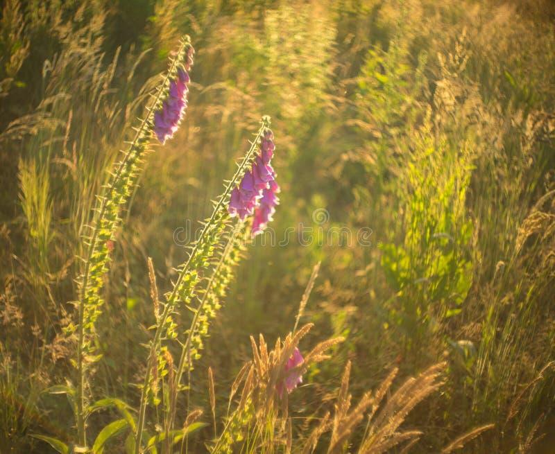 Purpurea de la digital, dedalera en un prado inculto en el ocaso fotografía de archivo libre de regalías