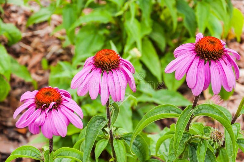 Purpurea del Echinacea, o coneflower púrpura del este fotos de archivo libres de regalías