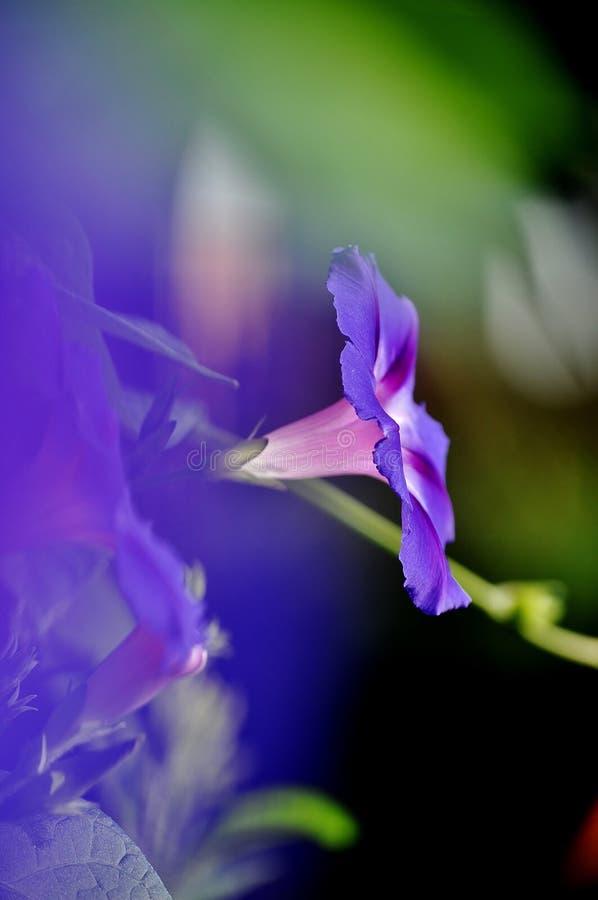 Purpurea del ipomea de la gloria de mañana imagen de archivo libre de regalías