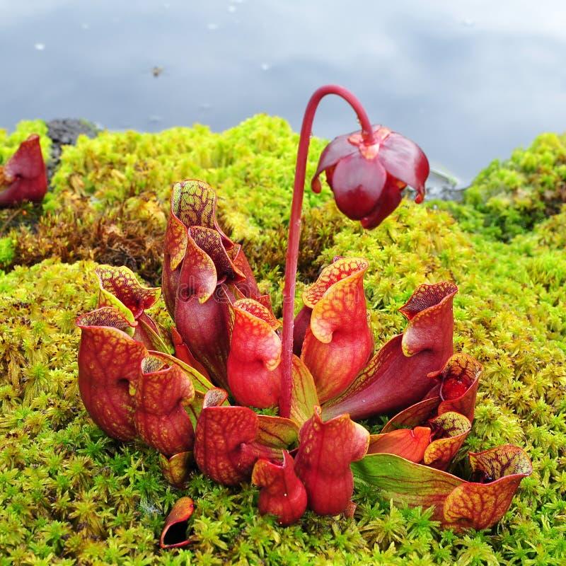 Purpurea del Sarracenia imágenes de archivo libres de regalías