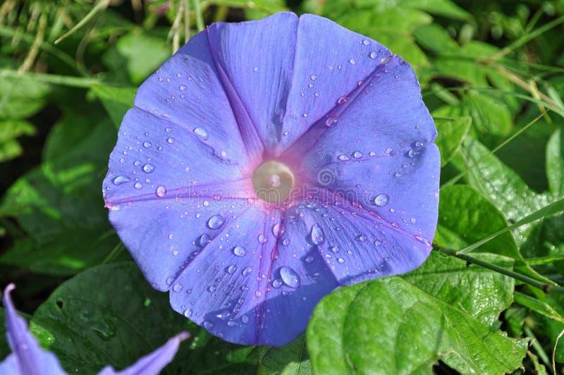 Purpurea do Ipomoea imagens de stock