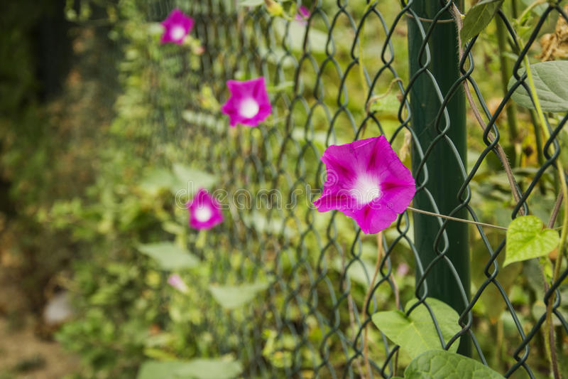 Purpurea do Ipomoea, glória de Moorning foto de stock