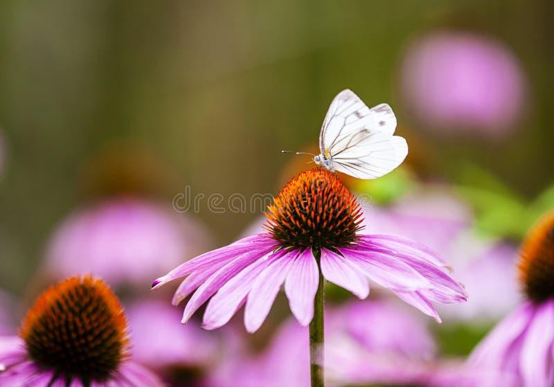Purpurea et papillon d'Echinacea photo libre de droits