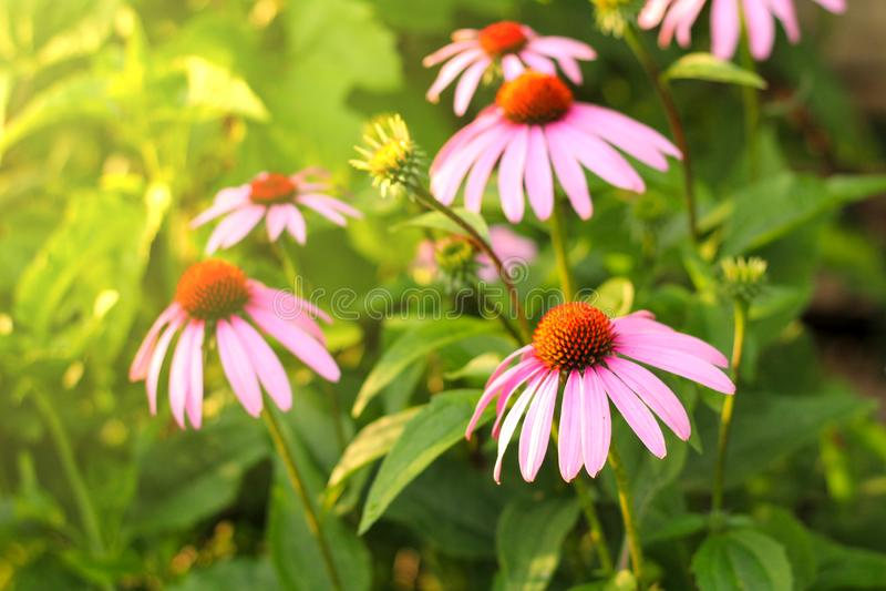 Purpurea lumineux d'Echinacea à la lumière du soleil Belles fleurs pourpres de coneflower photo stock