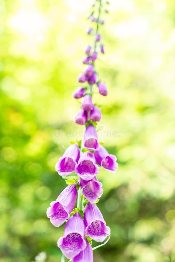 Purpurea púrpura de la digital de la dedalera común con el fondo borroso foto de archivo libre de regalías