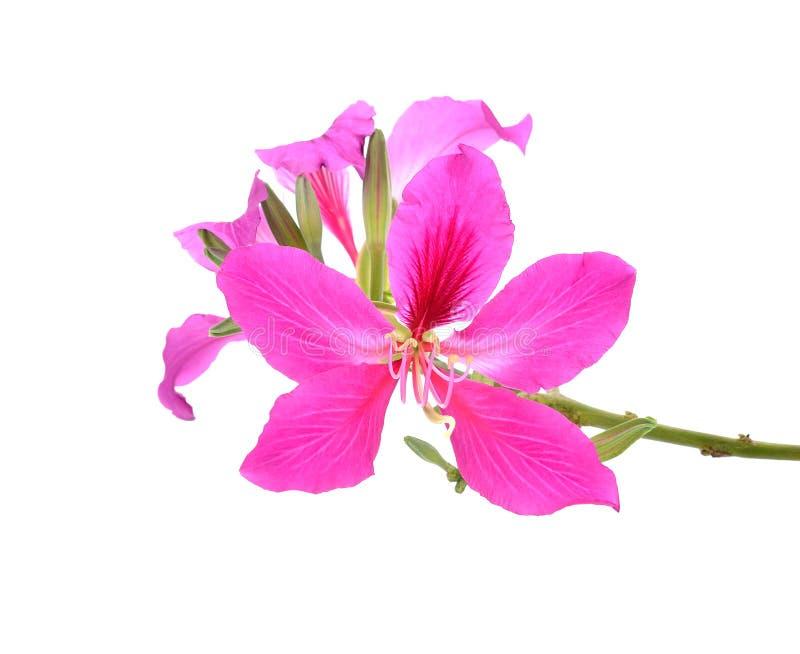 Purpurea purpere bloemen op witte achtergrond stock afbeeldingen
