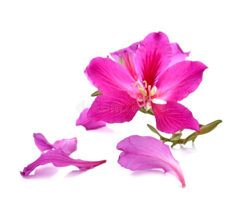 Purpurea purpere die bloemen met witte achtergrond worden geïsoleerd stock fotografie