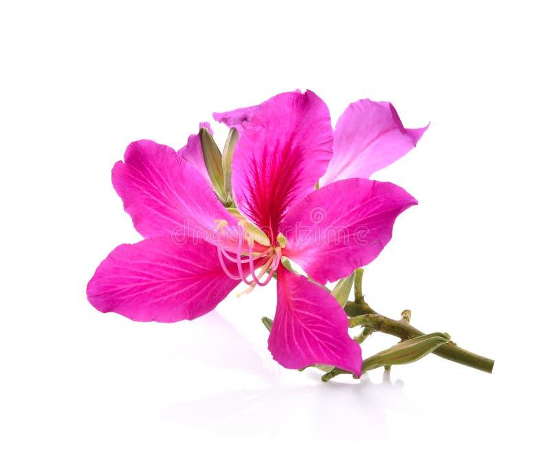 Purpurea purpere die bloemen met witte achtergrond worden geïsoleerd stock afbeeldingen