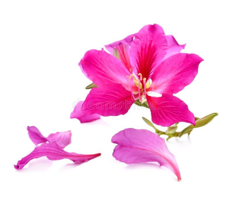Purpurea purpere die bloemen met witte achtergrond worden geïsoleerd royalty-vrije stock fotografie