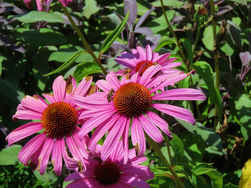 Purpurea rose d'Echinacea photos stock