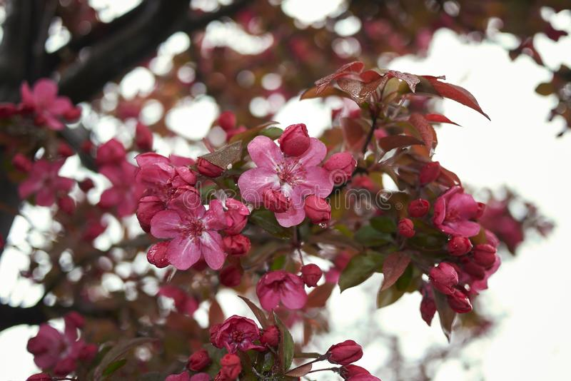 Purpurea van Malusfloribunda in bloei royalty-vrije stock afbeelding