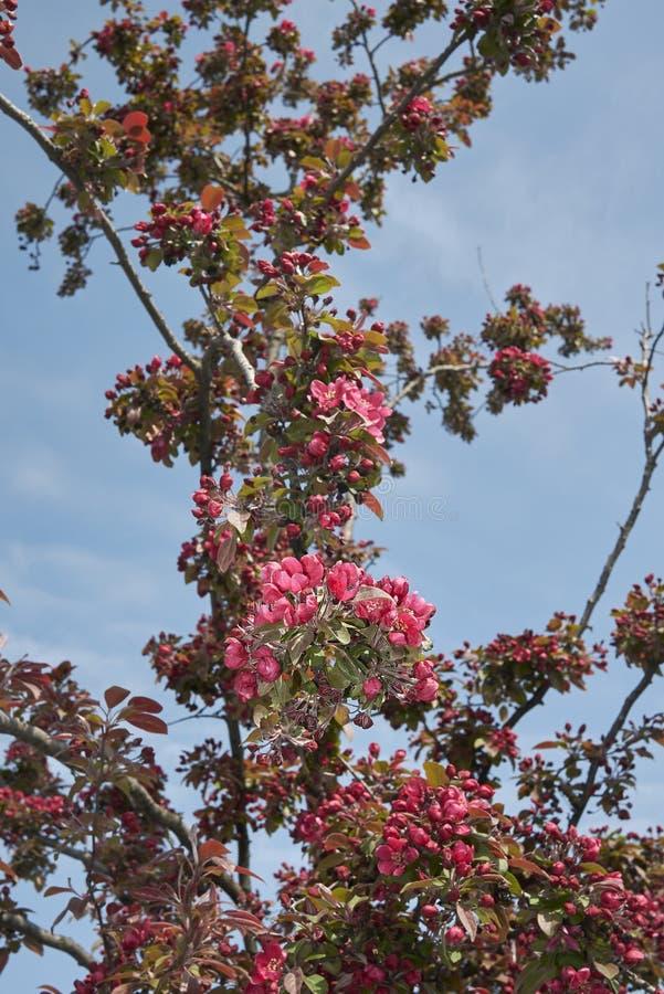Purpurea van Malusfloribunda in bloei royalty-vrije stock afbeeldingen