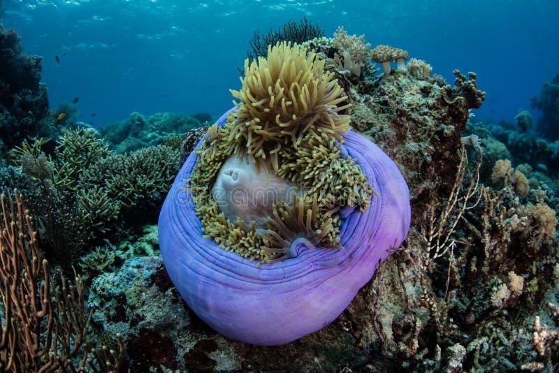 Purpurfärgad anemon i den Komodo nationalparken royaltyfri foto