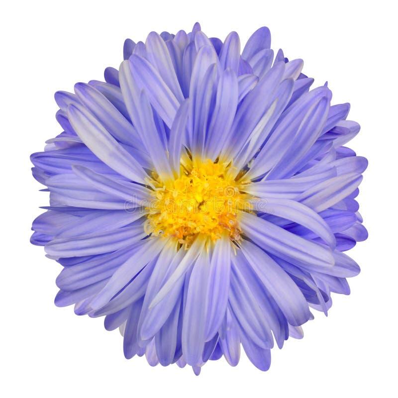 Download Purpurfärgad Asterblomma Med Den Gula Mittisolaten På Vit Fotografering för Bildbyråer - Bild av tusensköna, blomma: 37349971