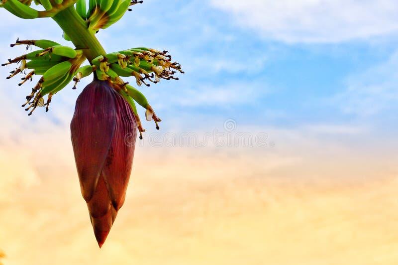 Purpurfärgad banan, ny himmelplats arkivfoton