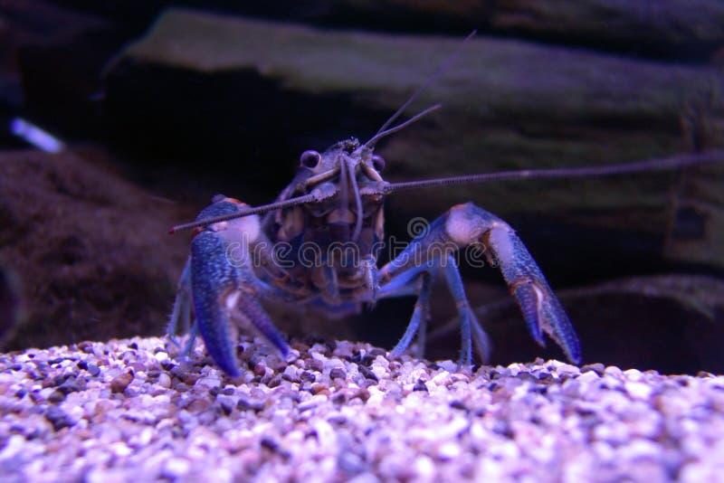Purpurfärgad blå krabba i ström royaltyfria bilder