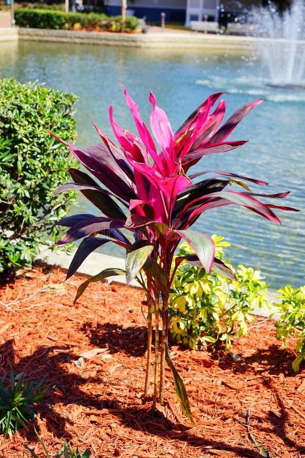 Purpurfärgad bladväxt royaltyfria bilder