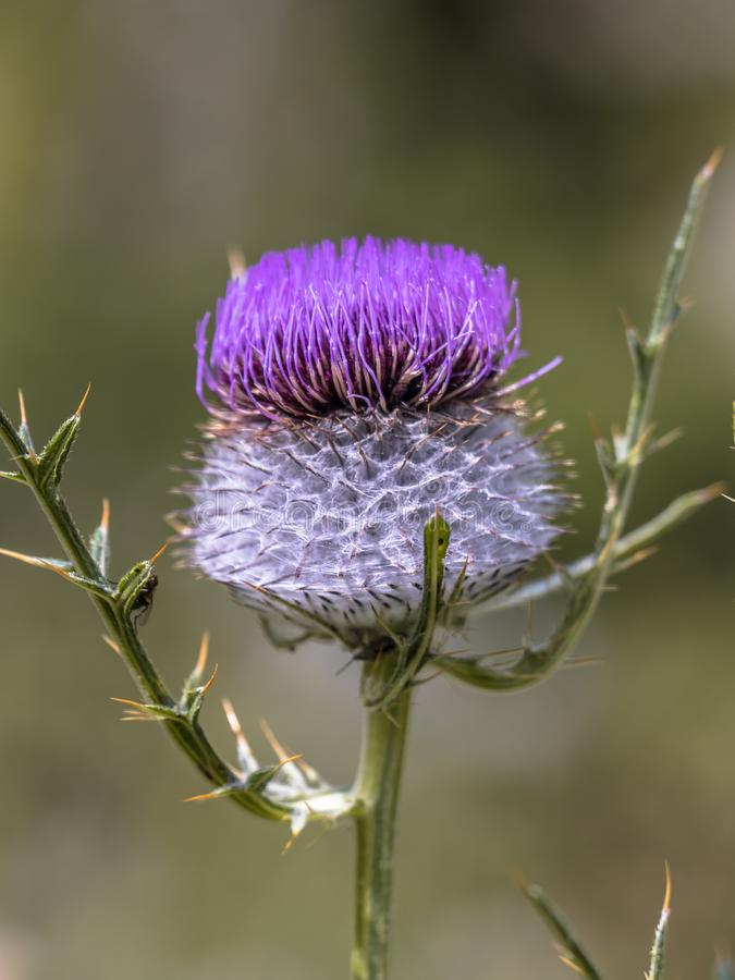 Purpurfärgad blomma av den ulliga tisteln arkivbild