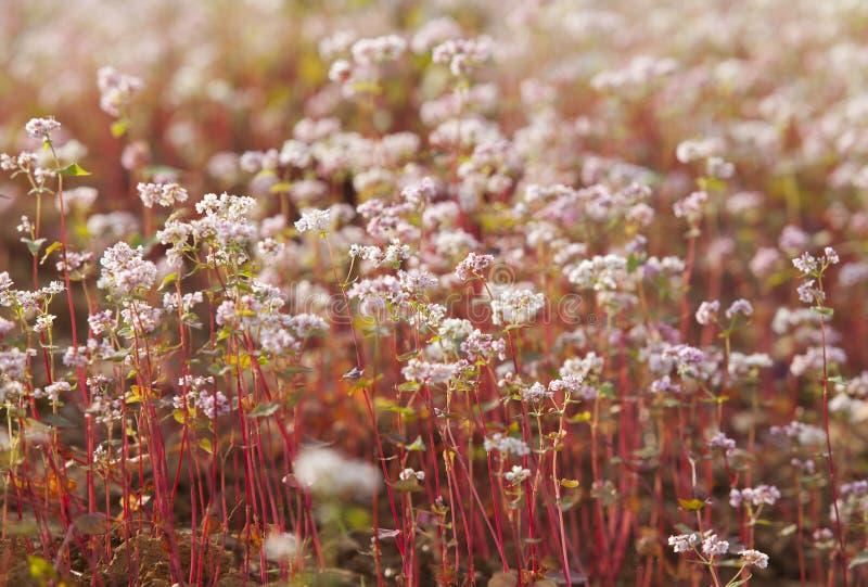 Purpurfärgad blomma för bovete (Tam Giac Mach i vietnames) arkivfoto