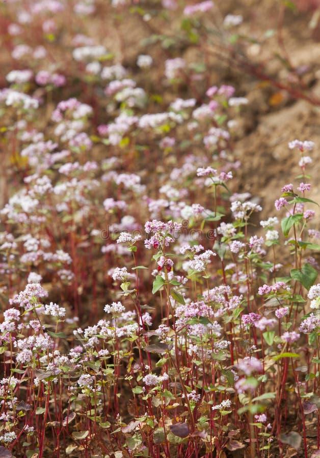 Purpurfärgad blomma för bovete (Tam Giac Mach i vietnames) arkivbilder