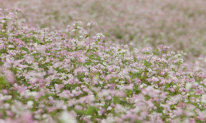 Purpurfärgad blomma för bovete (Tam Giac Mach i vietnames) fotografering för bildbyråer