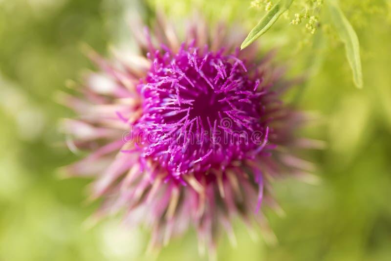 Purpurfärgad blomma för Closeup av onopordumacanthiumen på suddighetsgräsplanbakgrund Bakgrund för makro Wiolet för lös blomma fotografering för bildbyråer