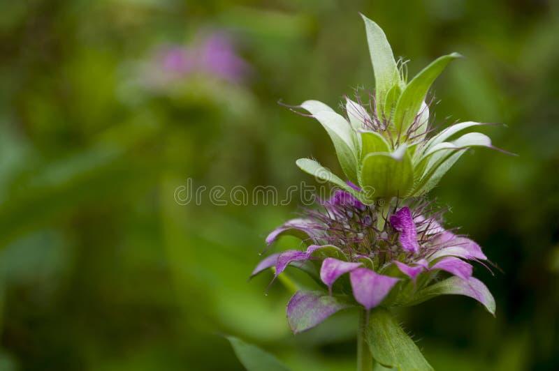 Purpurfärgad blomma för Estragonörtagård blomning På bakgrunden med gröna örter bakom dragon arkivbilder