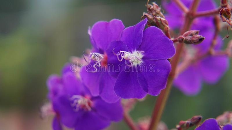 Purpurfärgad blomma för makrocoseup royaltyfria foton