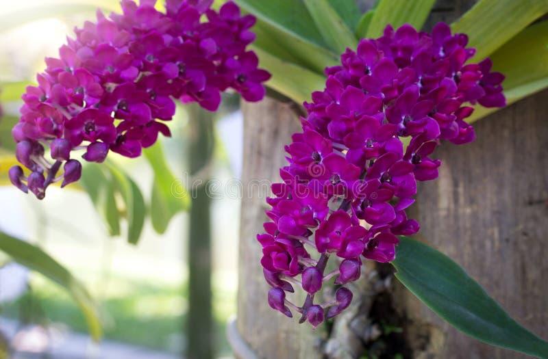 Purpurfärgad blomma för rhynchostylisgiganteaorkidé royaltyfri bild