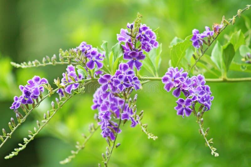 Purpurfärgad blomma som blommar, himmelblomma, guld- daggdroppe, duvabär, träd för Duranta erectastaket royaltyfria foton