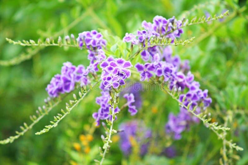 Purpurfärgad blomma som blommar, himmelblomma, guld- daggdroppe, duvabär, träd för Duranta erectastaket arkivbilder