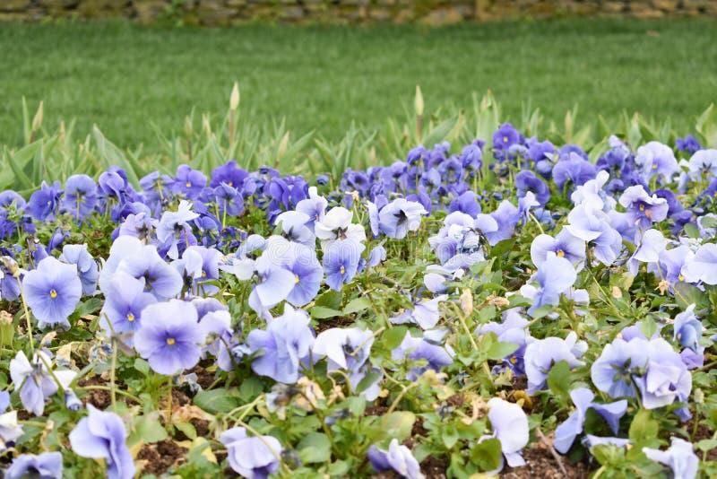 Purpurfärgad blomma, vårbakgrund, blommabakgrund arkivfoto