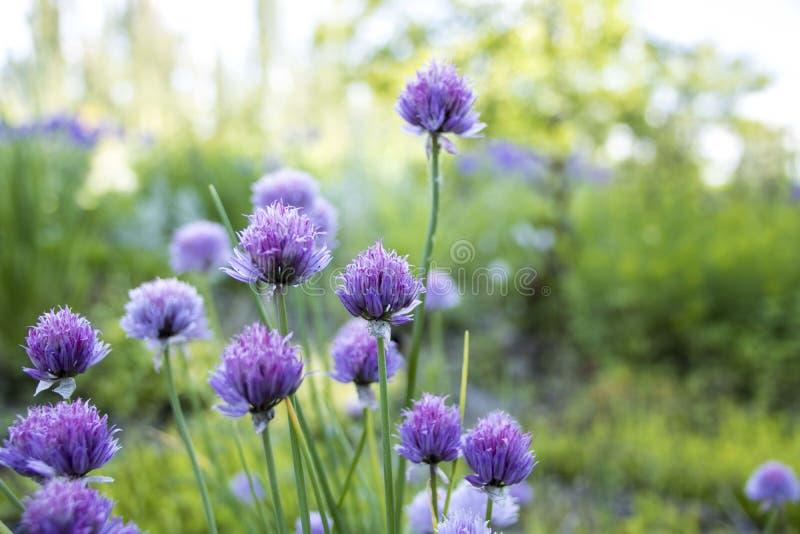 Purpurfärgad blomning av gräslökar i sommar royaltyfria foton