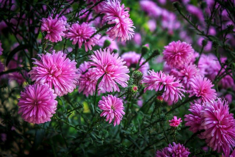 Purpurfärgad chrysanthemum arkivfoto
