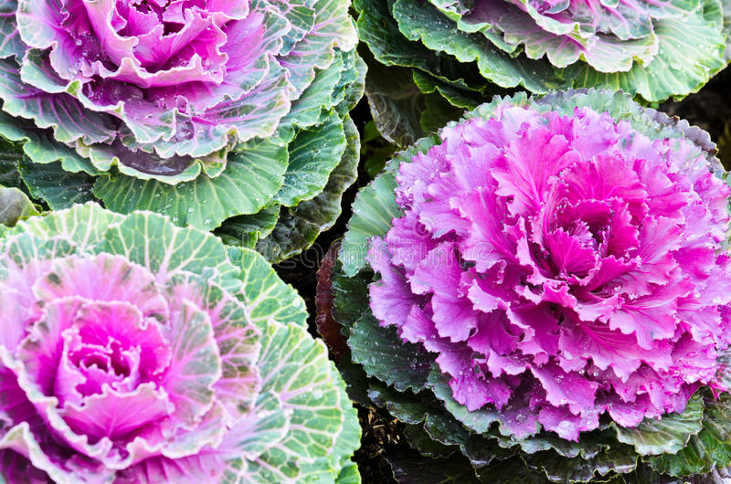 Purpurfärgad dekorativ kale royaltyfri fotografi