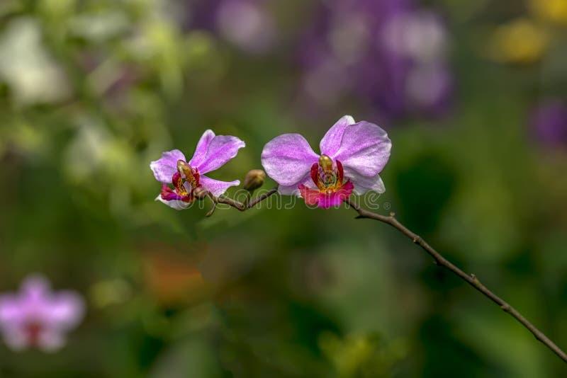 Purpurfärgad Doritaenopsis orkidé med Bokeh bakgrund med naturligt ljus royaltyfri foto