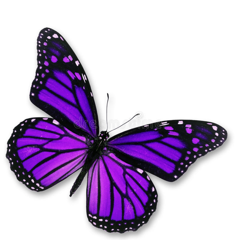 Purpurfärgad fjäril fotografering för bildbyråer