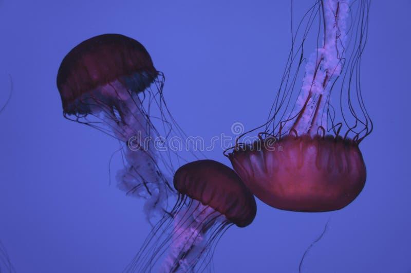 Purpurfärgad havsväxt royaltyfri fotografi