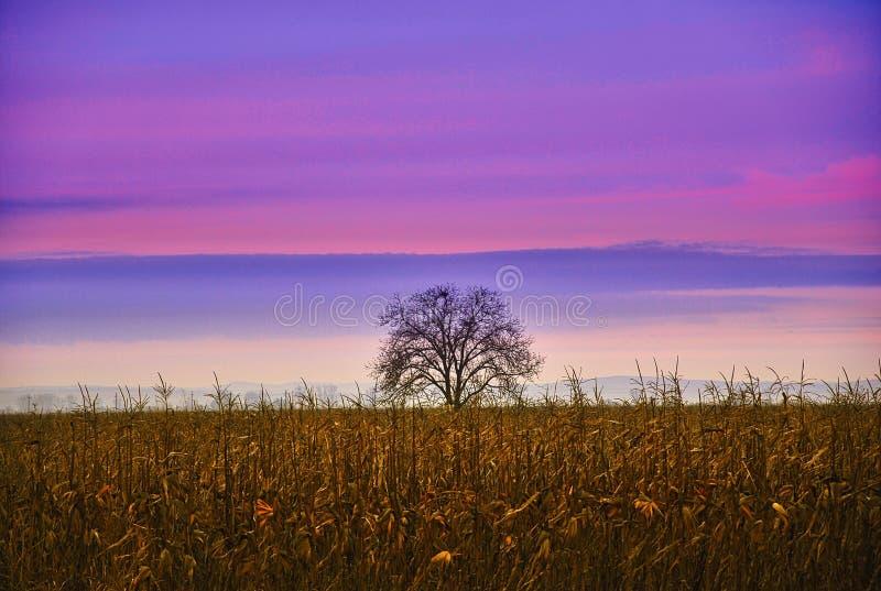 Purpurfärgad himmel och ett träd i midlen av ett havrefält royaltyfri fotografi