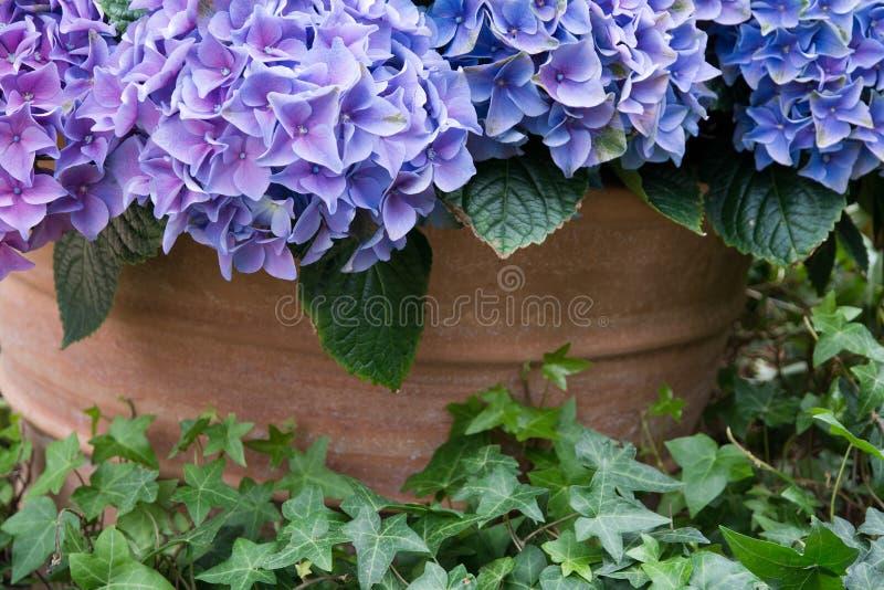 Purpurfärgad hortensiablomma royaltyfria bilder