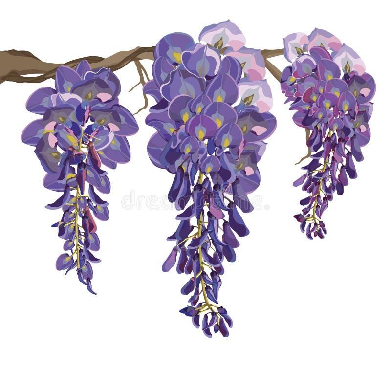 Purpurfärgad illustration för blomningWisteriavektor royaltyfri illustrationer