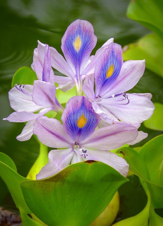 Purpurf?rgad inf?ding f?r crassipes f?r Eichhornia f?r vattenhyacint till tropiska och under-tropiska Sydamerika, Kauai, Hawaii,  arkivfoton