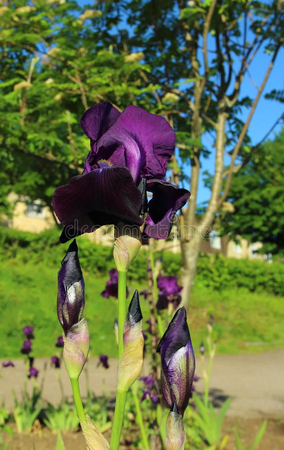 Purpurfärgad Iris arkivbilder