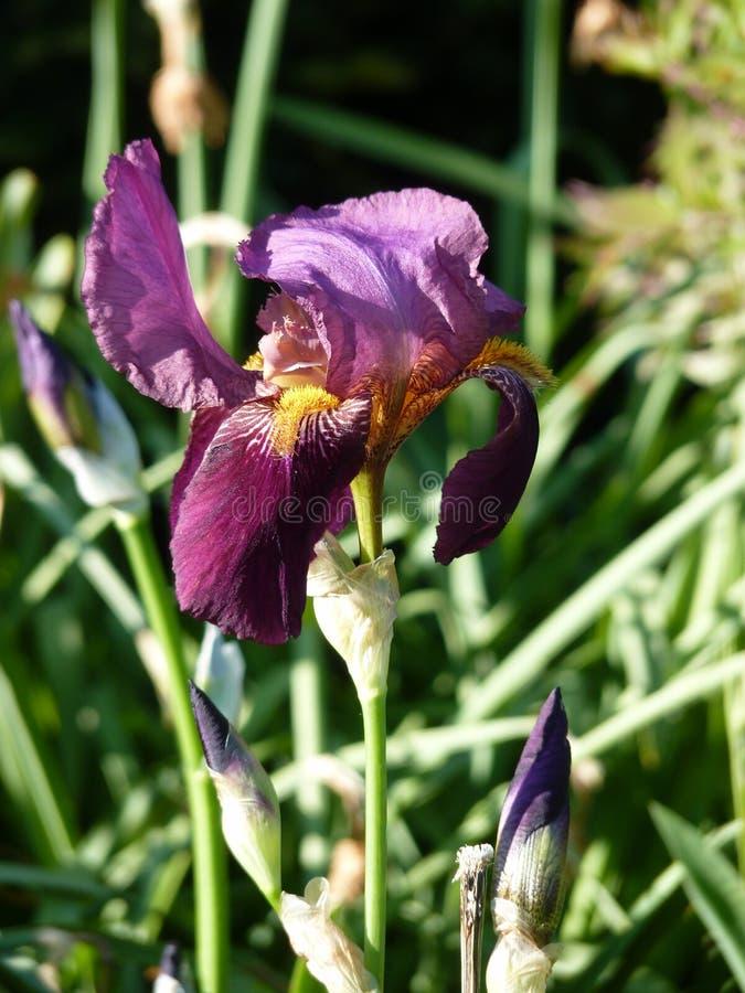 Purpurfärgad Iris arkivfoton