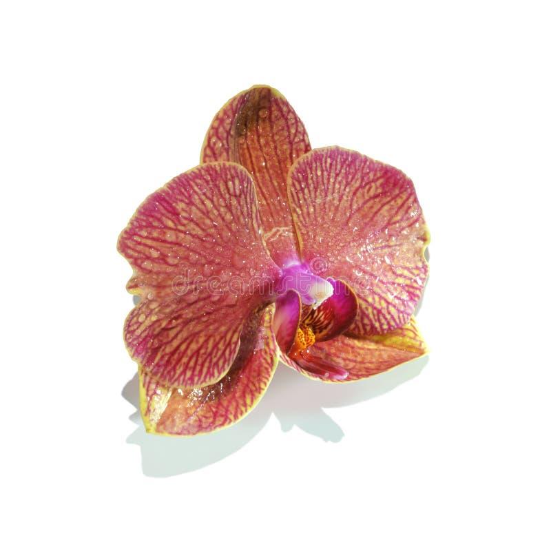 Purpurfärgad isolerad orkidéblomma royaltyfri fotografi
